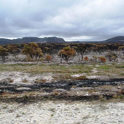 Alien plants drive Overberg wildfires