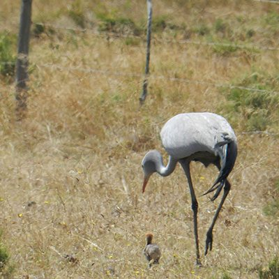 Minimising the impacts of fencing on birdlife